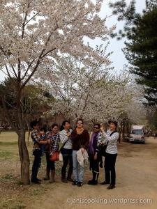 nami island spring cherry blossoms