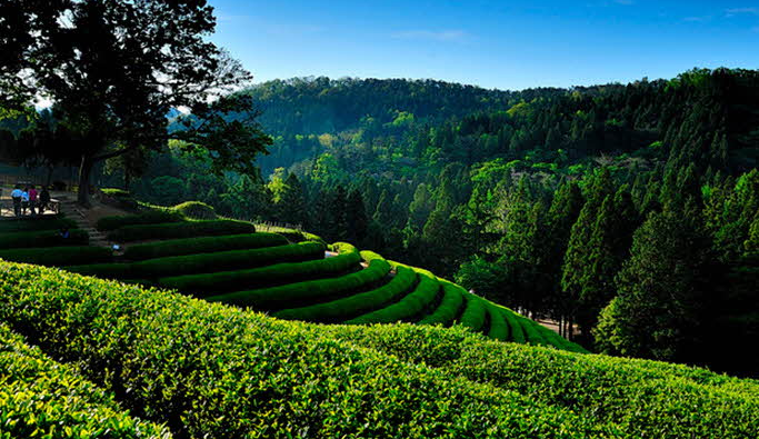 Boseong Green Tea Festival.png