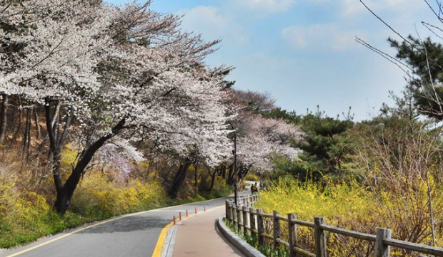 Namsan Park Cherry Blossoms.png